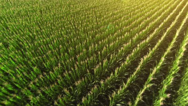 Flying over a golden corn field in beautiful farmland with sun illuminating the field. Royalty-free stock video