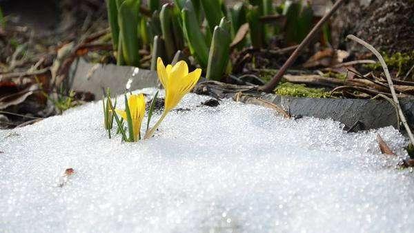 Saffron crocus first spring flower bloom close up between snow move saffron crocus first spring flowers between melting snow yellow blooms royalty free stock mightylinksfo