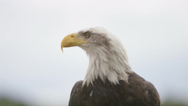 Close up on the face of a Bald Eagle in natural environment. Royalty-free stock video