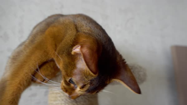 Abyssinian Cat Eyes