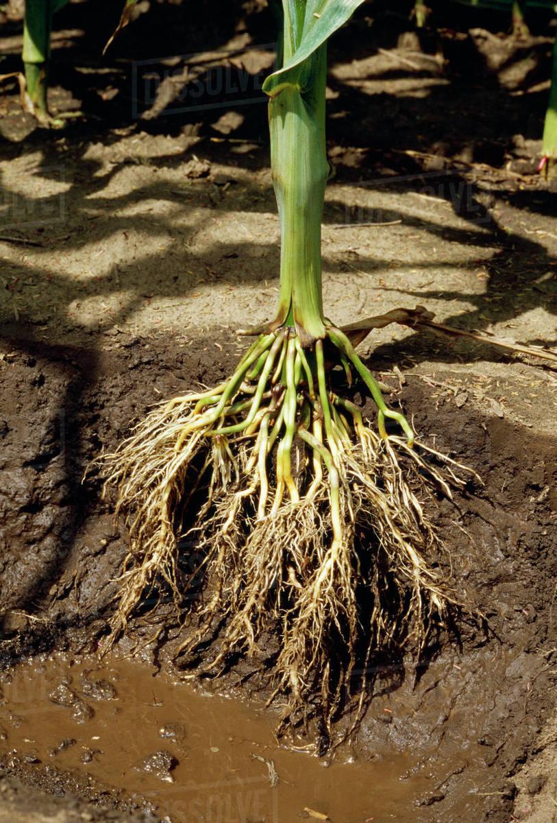Zea Root