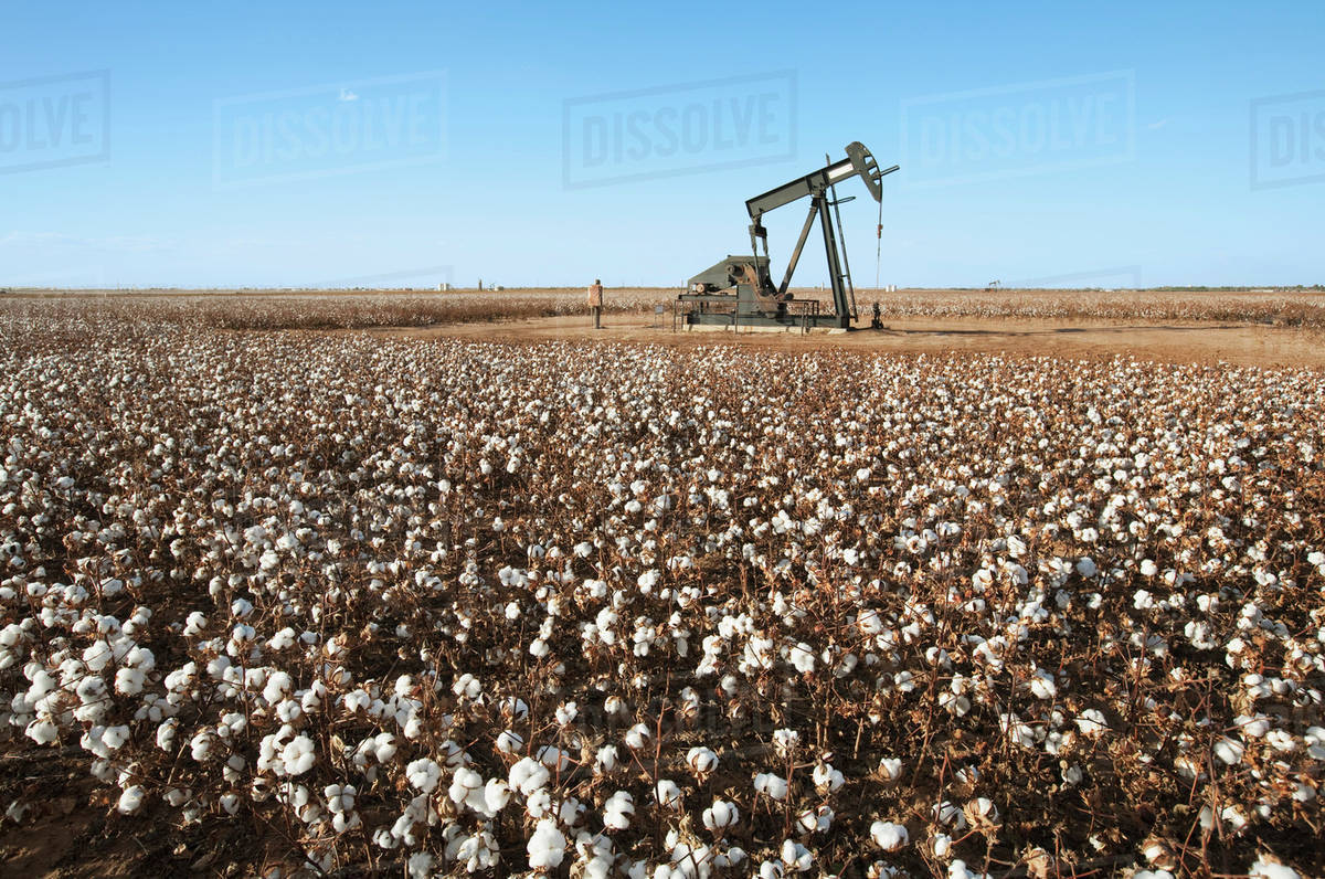 Agriculture - An oil pump jack (pumping unit) in a field of harvest stage  stripper cotton / West Texas, USA  stock photo