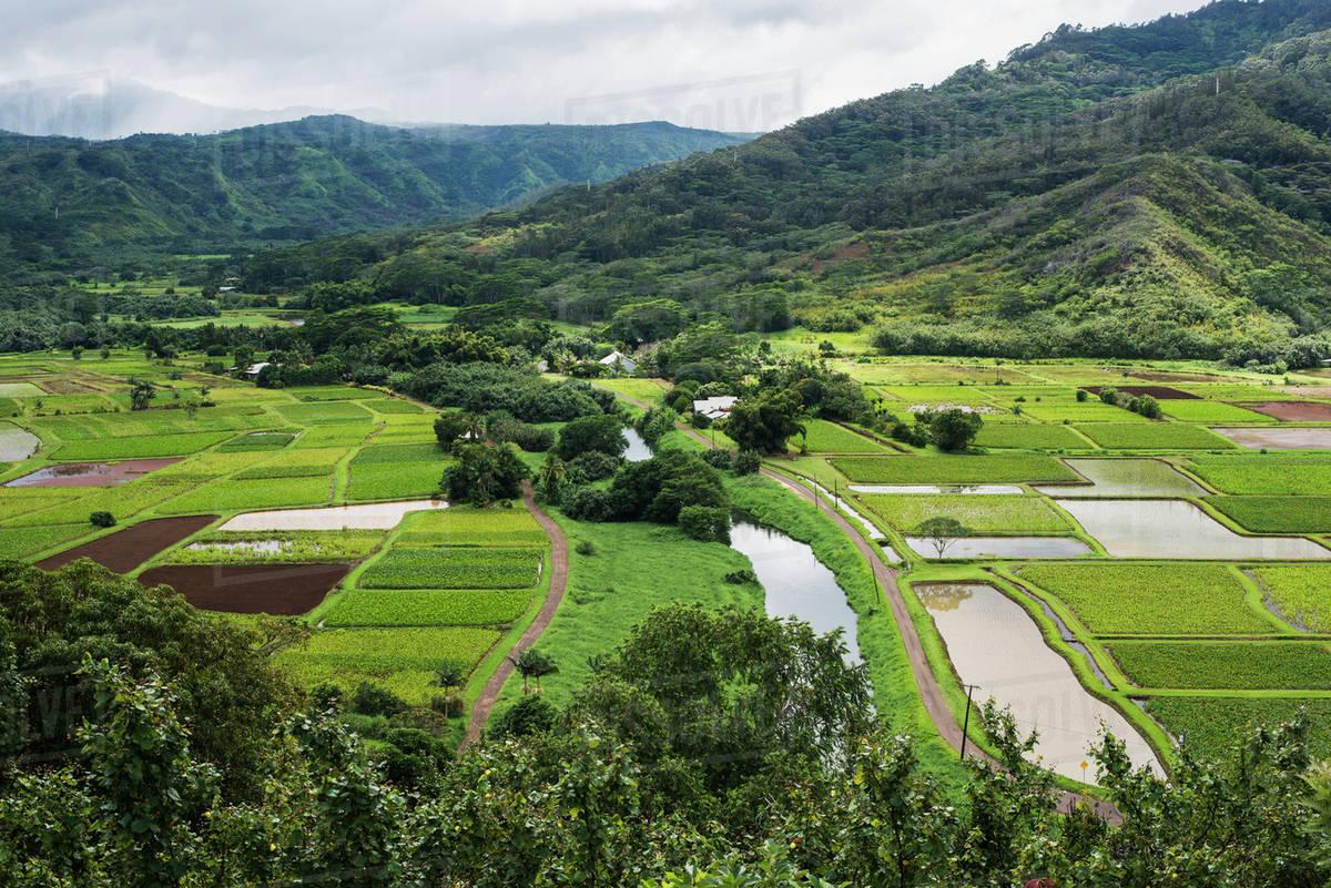 Taro is grown near Hanalei
