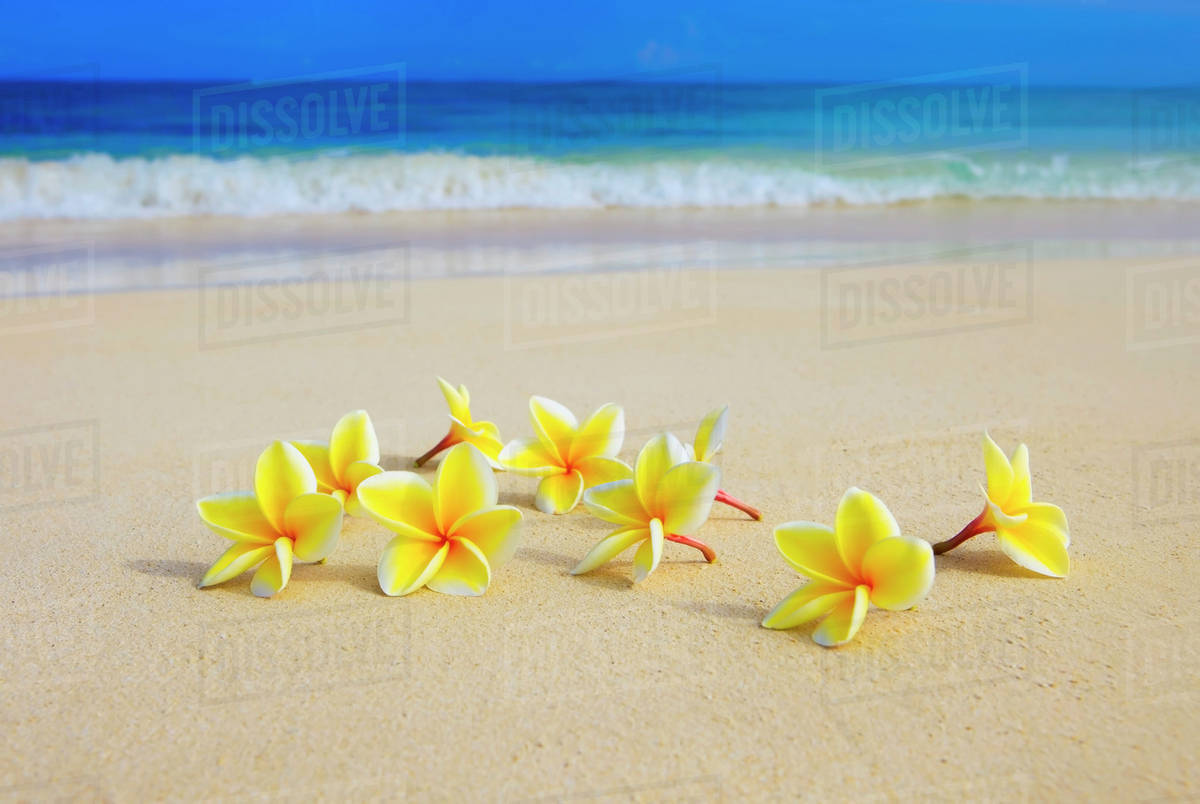 Hawaii yellow plumeria flowers on the beach stock photo dissolve hawaii yellow plumeria flowers on the beach izmirmasajfo Choice Image