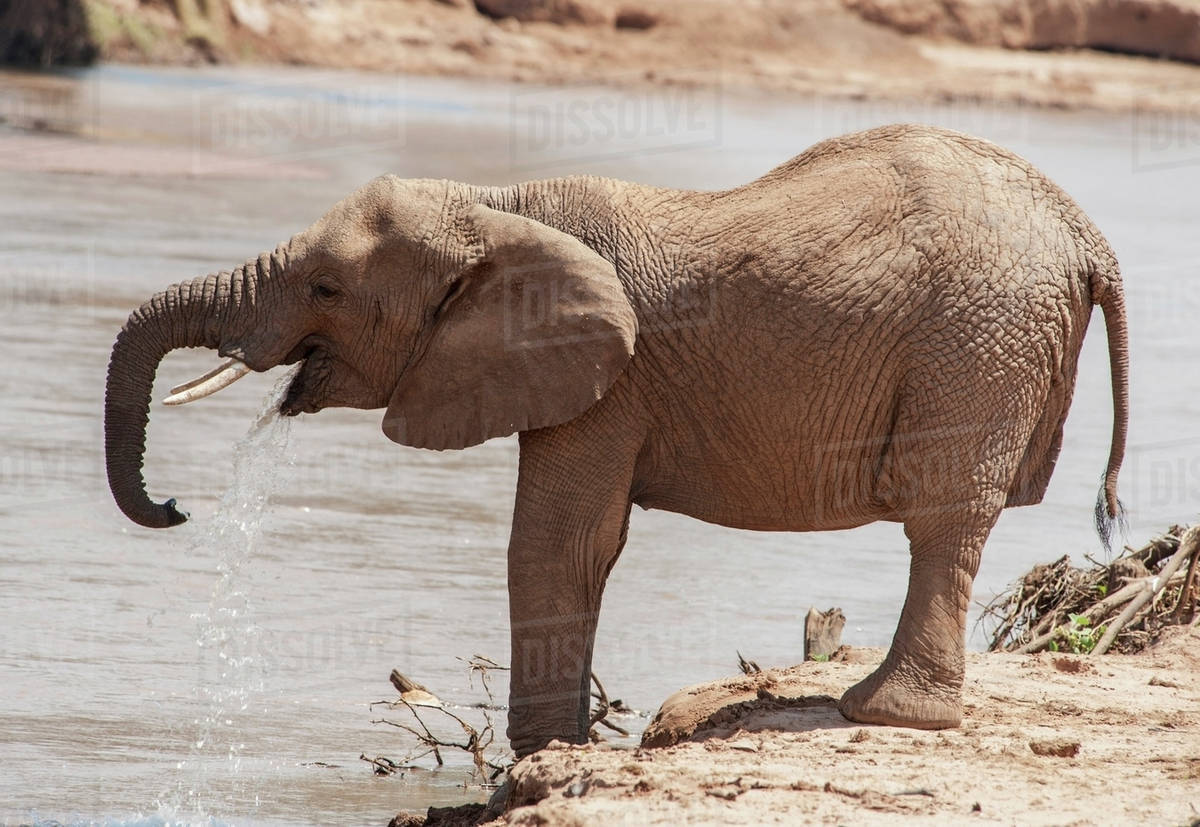 An elephant standing and drinking at the water's edge in samburu national reserve;Kenya Royalty-free stock photo