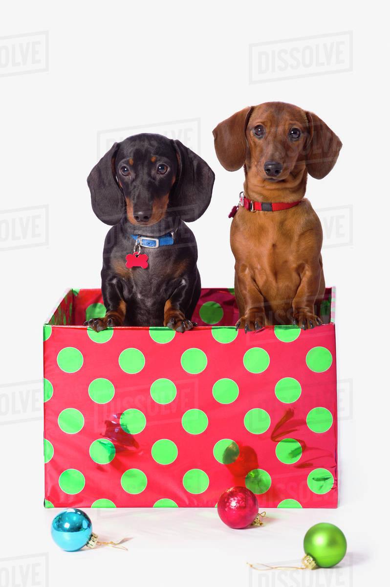 Two Dachshund Puppies Inside A Polka Dot Christmas Gift Box Stock