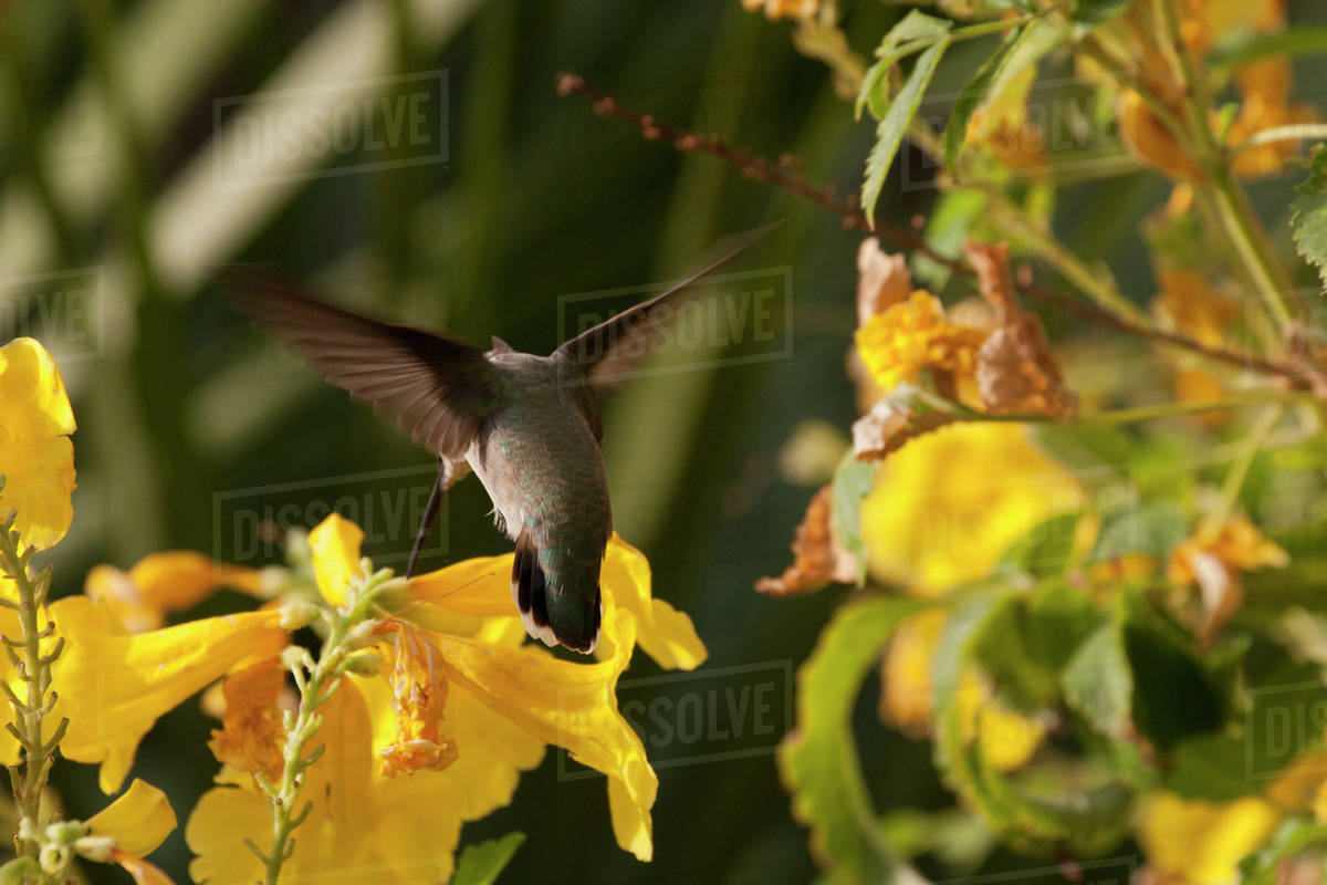 Close up of hummingbird on yellow flowers palm springs california close up of hummingbird on yellow flowers palm springs california united states of america mightylinksfo