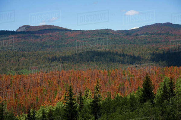 Pine Trees Attacked By The Lodgepole Pine Beetle, Alberta, Canada Royalty-free stock photo