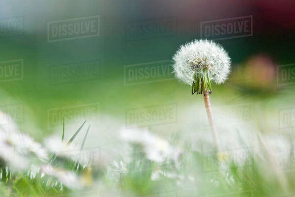 Common Dandelion, Victoria, Bc Royalty-free stock photo