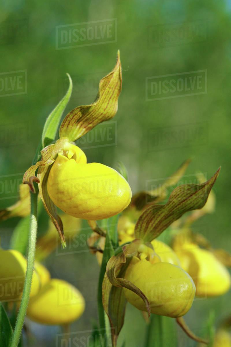 Yellow Ladyslipper A Wild Orchid Native To Manitoba Canada