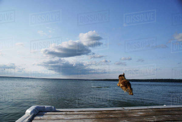 Dog Going Of Dock After Stick, Clear Lake, Canada, Manitoba, Riding Mountain National Park Royalty-free stock photo