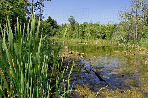 Swamp; Canada, Ontario, Campbellville Royalty-free stock photo
