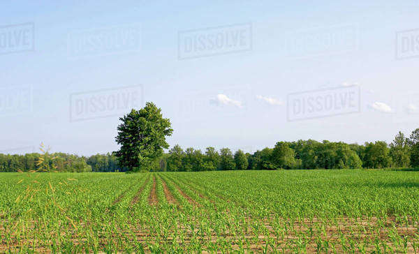 Cornfield Disappearing Into Tree Line And Blue Sky, Flamborough, Ontario Royalty-free stock photo