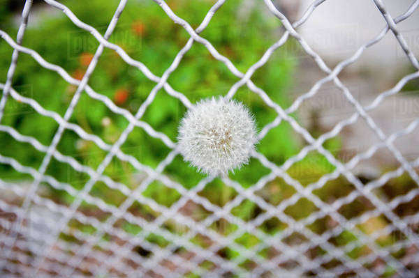 Dandelion Growing Out Of A Wire Fence, Chamonix, France Royalty-free stock photo