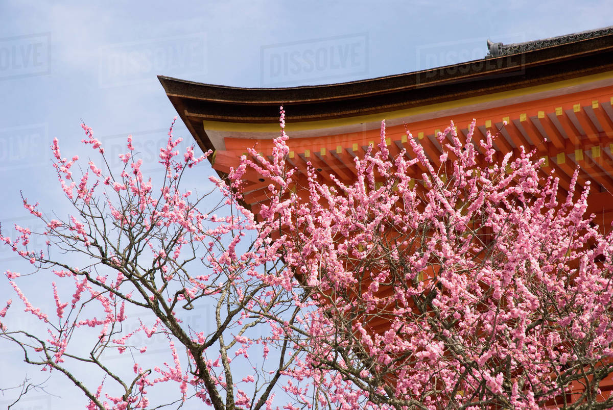Cherry Blossom Tree And A Temple Roof Kyoto Japan Stock Photo