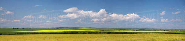 Panarama of a flowering canola field on a green rolling hill with clouds and blue sky south of high river;Alberta canada Royalty-free stock photo