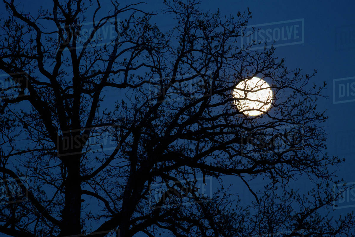 An Extra Bright Perigree Full Moon Super Moon Behind A Silhouetted