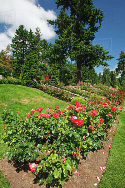 Red Roses In A Garden At The International Rose Test Garden ...