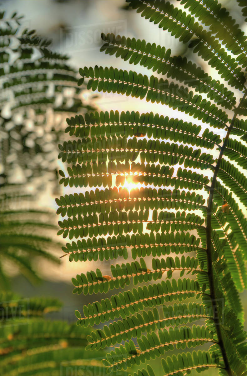 Sun Shining Through Acacia Leaves Chiang Mai Thailand Stock