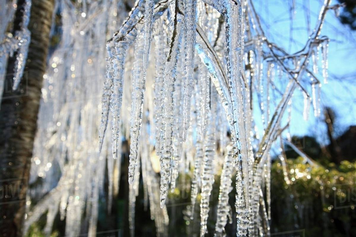 Icicles Hanging From Tree Branches - Stock Photo - Dissolve