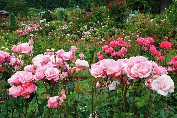 A Path In Portland Rose Garden; Portland, Oregon, Usa - Stock Photo ...
