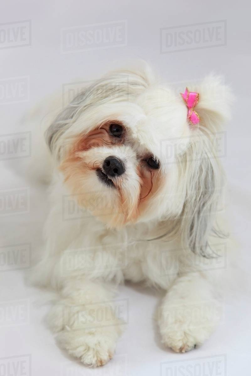 bichon frise with a pink bow in it s hair stock photo dissolve