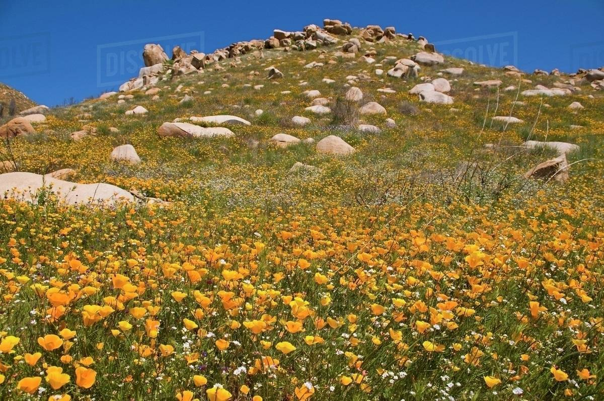 Yellow Poppies Papaver Rhoeas On A Hillside California United