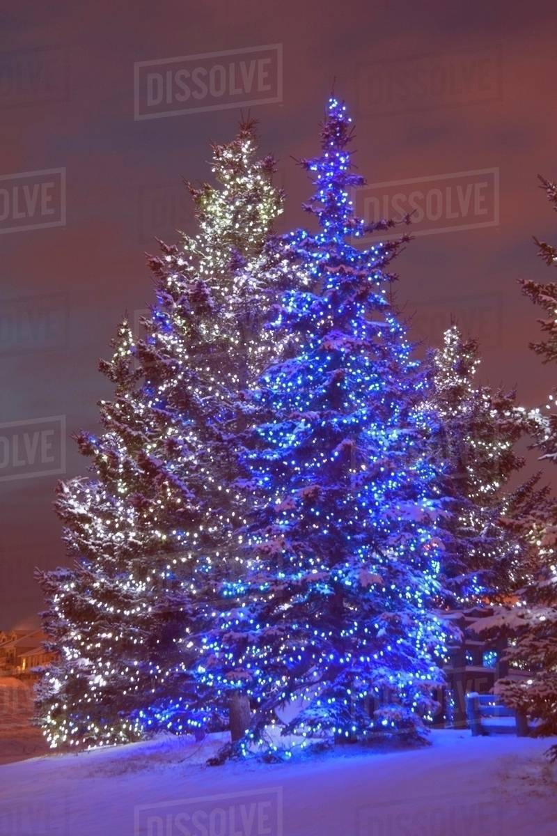Christmas In Calgary Canada.Calgary Alberta Canada Christmas Lights On Evergreen Trees At Sunset Stock Photo