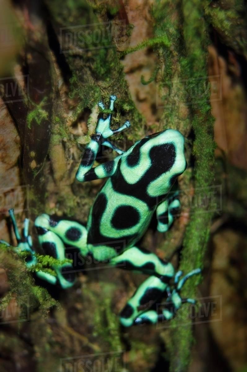 Green And Black Poison Dart Frog (Dendrobates Auratus ...