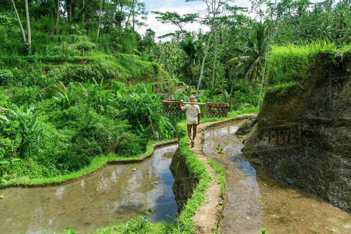 Farmer Working On Rice Terraces Near Ubud Tegallalang Bali Island