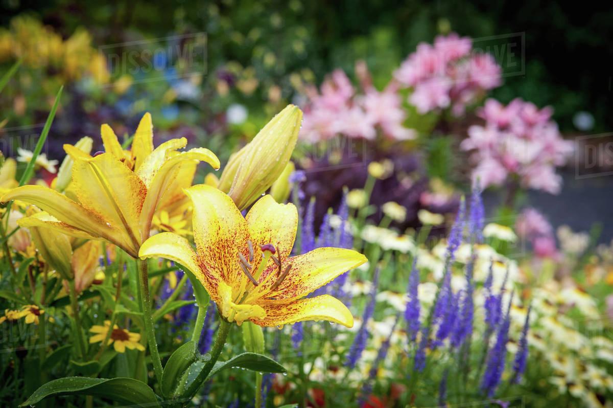 yellow lily lilium growing in alaskan botanical garden fairbanks alaska - Alaska Botanical Garden