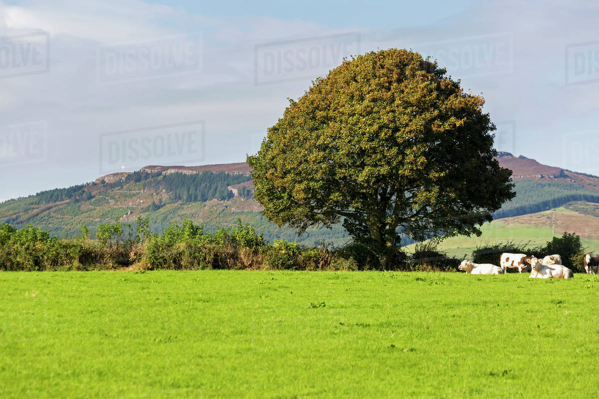 grassy field background. Large Green Tree In A Grassy Field With Cattle And Hilly Background  Blue Sky; County Tipperary, Ireland G