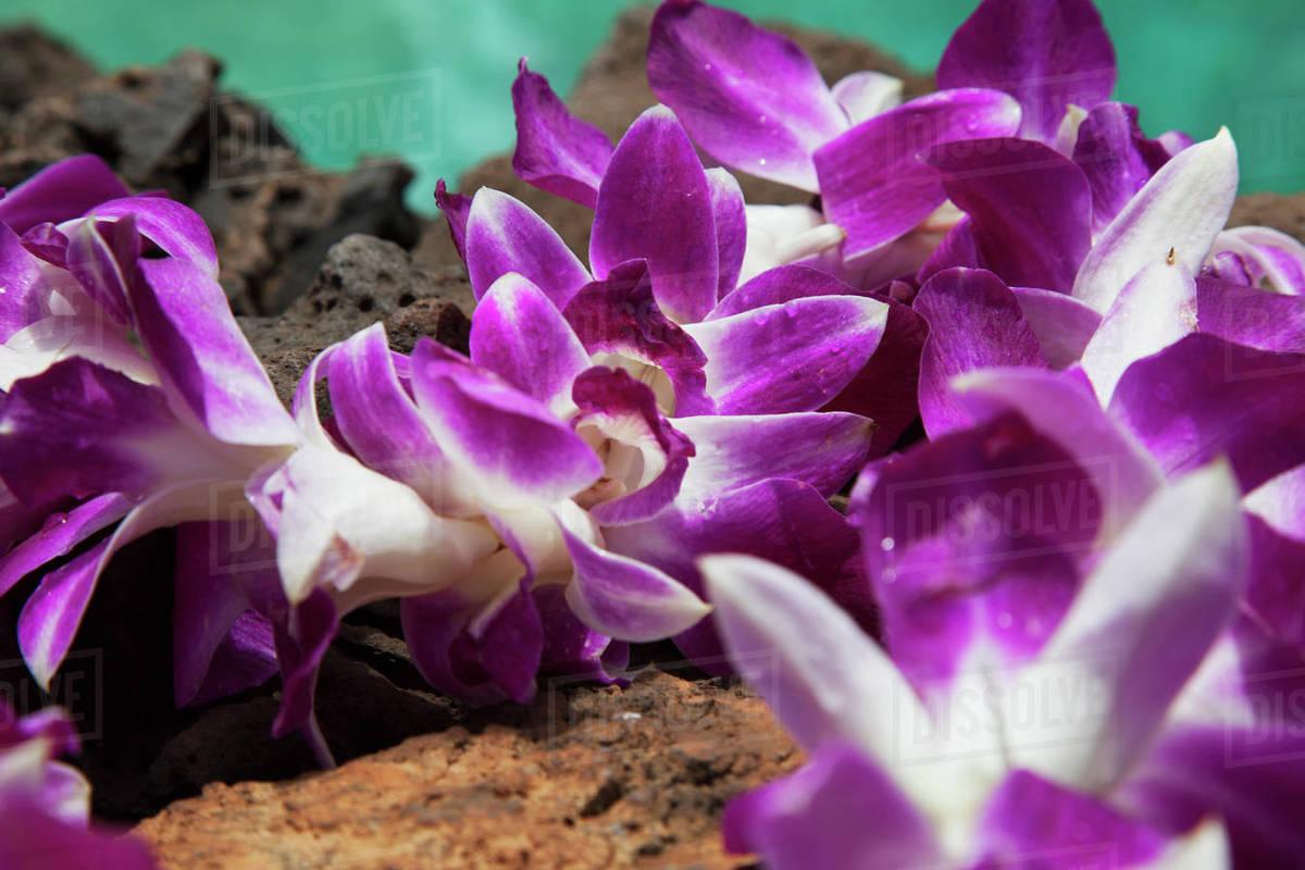 A Purple Orchid Flower Lei On Lava Rock With Blue Water Kihei Maui
