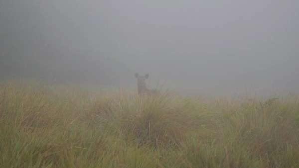 Horton Plains National Park, Sri Lanka: Deer in fog Royalty-free stock video