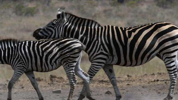 Family herd of Zebra in plains of dry arid Africa during drought searching for water Royalty-free stock video