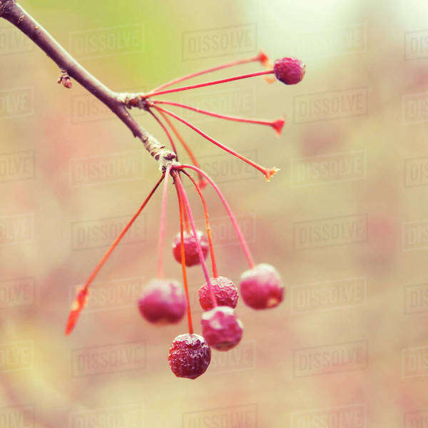 Close-up of dried cherry fruit hanging on branch Royalty-free stock photo
