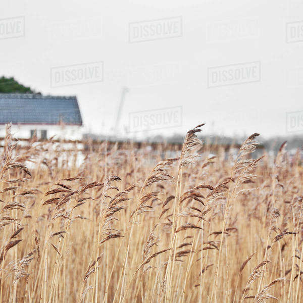 Crops growing in the field with barn in the background Royalty-free stock photo