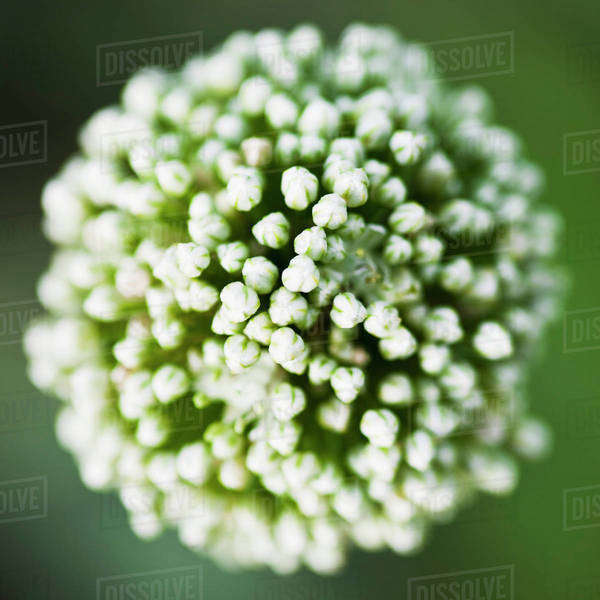 Closeup on flower buds Royalty-free stock photo