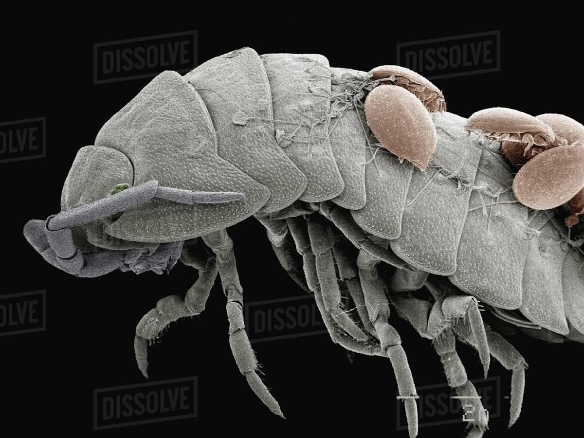 Coloured Sem Of Mites On Back Of Pillbug Stock Photo Dissolve