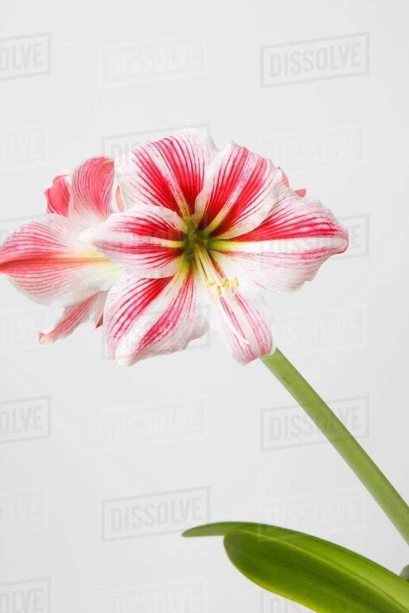 Amaryllis Flower Stock Photo Dissolve