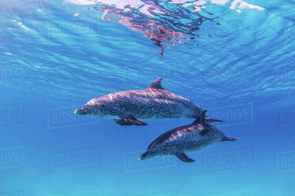 Atlantic Spotted Dolphins swimming near surface of ocean Royalty-free stock photo