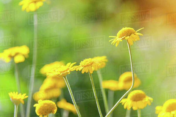 Close up of yellow chamomile flowers, (matricaria chamomilla) Royalty-free stock photo