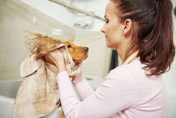 Female groomer towel drying head of cocker spaniel at dog grooming salon Royalty-free stock photo