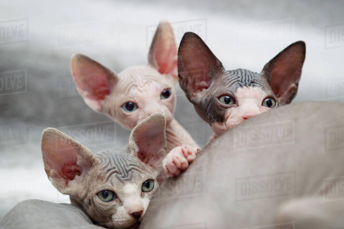 Sphynx kitten peeking over mother stock photo