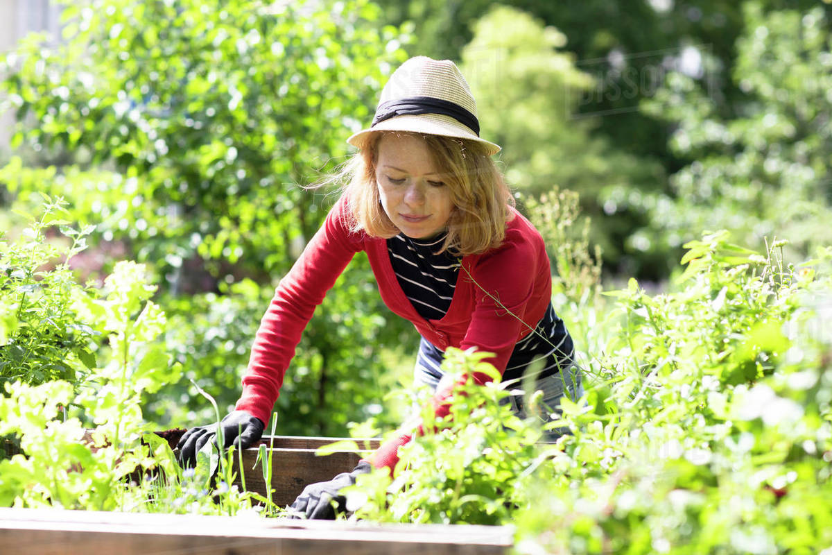 Mid adult woman checking plants in raised beds in her garden Royalty-free stock photo