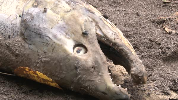 Deceased adult coho salmon washed up on sandy river shore. Royalty-free stock video