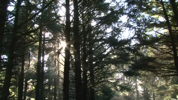 Morning sun light filters through trees in dense forest. Royalty-free stock video