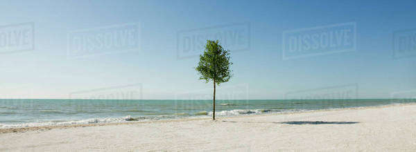 Lone tree growing on beach Royalty-free stock photo