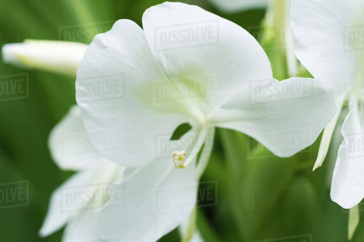 White Orchid Flower Growing Close Up Stock Photo Dissolve