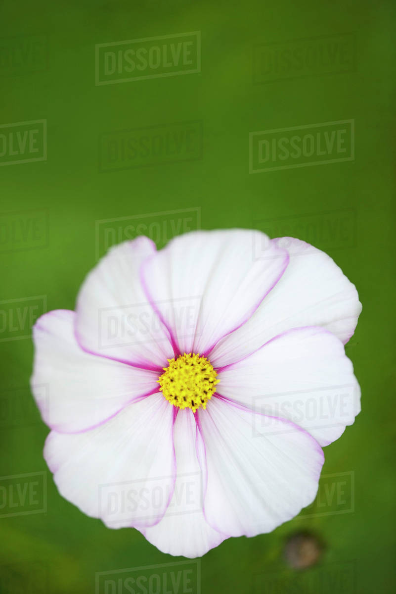 White Cosmos Flower Stock Photo Dissolve